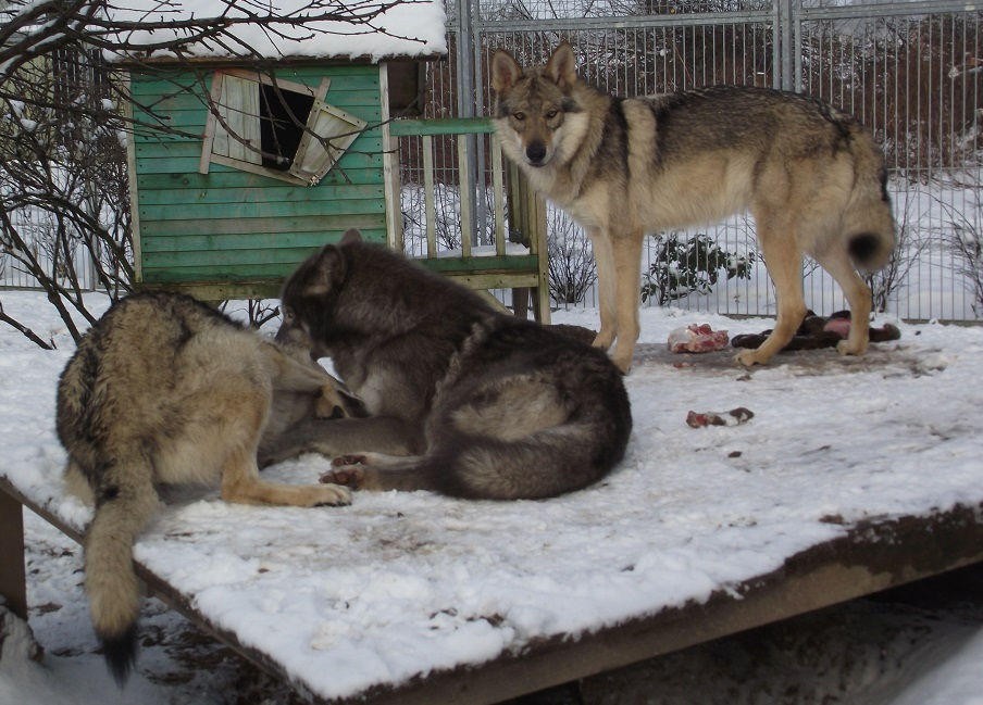 wolfdogs: links Schwester Kalisha, Mitte Blue Jade, rechts Yukon